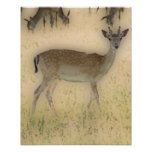 'White-tail Grazing' Posters