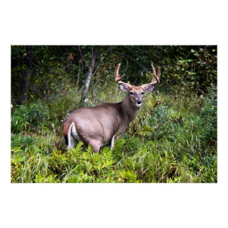 White-Tailed Buck Canvas Poster