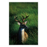 White-tailed Buck Posters