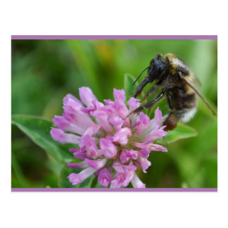 White-Tailed Bumblebee on Red Clover Postcard