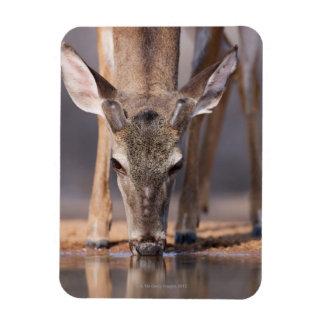 White tailed deer at waterhole magnet