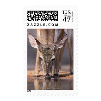 White tailed deer at waterhole postage