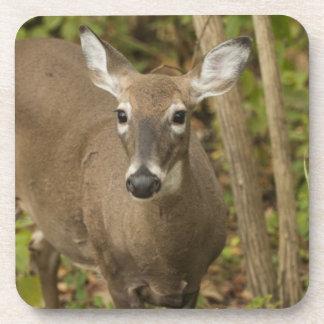 White Tailed Deer Coaster