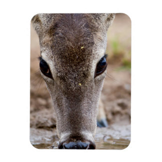 White-tailed Deer drinking water Magnet
