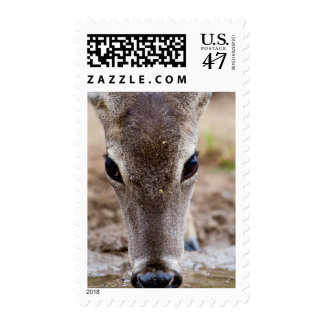 White-tailed Deer drinking water Postage