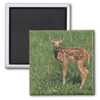 White-tailed deer fawn 2 inch square magnet