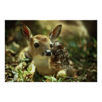 White-tailed Deer Fawn Poster