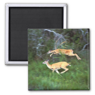 White-tailed Deer in Flight 2 Inch Square Magnet