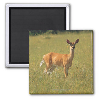 White tailed deer in Glacier National Park , 2 Inch Square Magnet