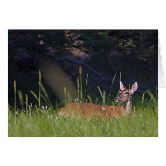 White-tailed Deer in Morning Light Card