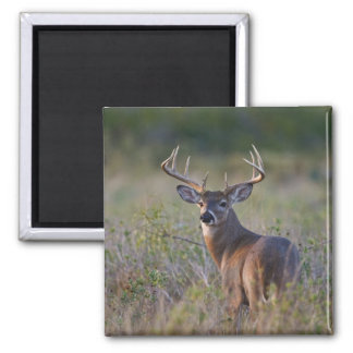 white-tailed deer Odocoileus virginianus) 2 2 Inch Square Magnet