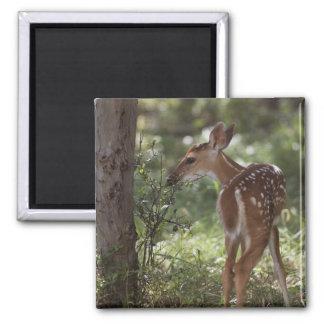 White-tailed Deer, Odocoileus virginianus, 2 2 Inch Square Magnet