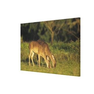 White-tailed Deer, Odocoileus virginianus, 2 Canvas Print