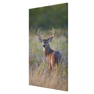 white-tailed deer Odocoileus virginianus) 2 Canvas Print