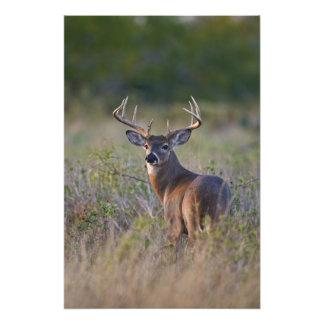 white-tailed deer Odocoileus virginianus) 2 Photo Art