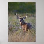 white-tailed deer Odocoileus virginianus) 2 Posters