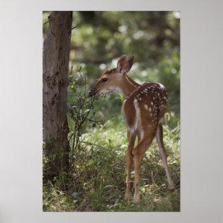 White-tailed Deer, Odocoileus virginianus, 2 Poster
