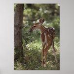 White-tailed Deer, Odocoileus virginianus, 2 Print