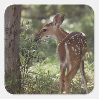 White-tailed Deer, Odocoileus virginianus, 2 Square Sticker