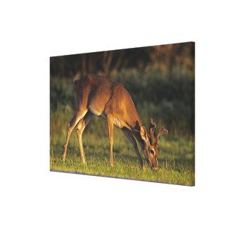 White-tailed Deer, Odocoileus virginianus, 3 Canvas Print
