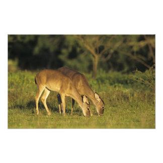 White-tailed Deer, Odocoileus virginianus, 3 Photo Art