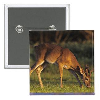White-tailed Deer, Odocoileus virginianus, 4 Button