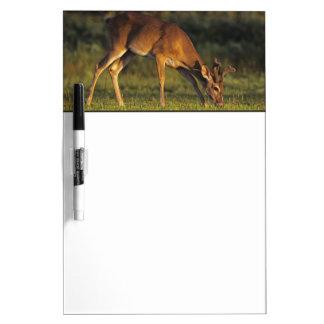White-tailed Deer, Odocoileus virginianus, 4 Dry Erase Board
