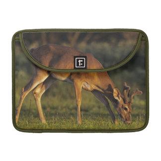 White-tailed Deer, Odocoileus virginianus, 4 MacBook Pro Sleeve