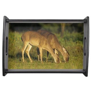 White-tailed Deer, Odocoileus virginianus, 5 Service Trays