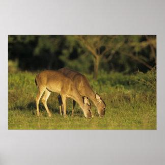 White-tailed Deer, Odocoileus virginianus, 5 Poster