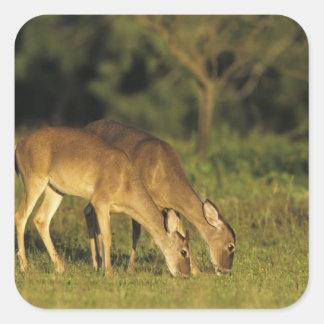 White-tailed Deer, Odocoileus virginianus, 5 Square Sticker