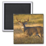 White-tailed Deer (Odocoileus virginianus) adult 2 Inch Square Magnet