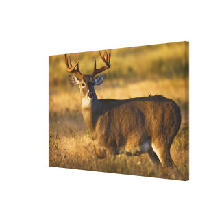 White-tailed Deer (Odocoileus virginianus) adult Canvas Print