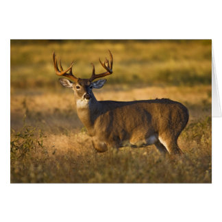 White-tailed Deer (Odocoileus virginianus) adult Card