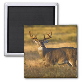 White-tailed Deer (Odocoileus virginianus) adult Magnet