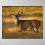 White-tailed Deer (Odocoileus virginianus) adult Print