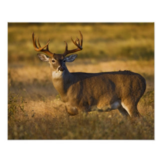 White-tailed Deer (Odocoileus virginianus) adult Poster