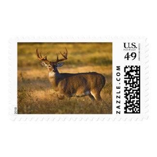 White-tailed Deer (Odocoileus virginianus) adult Stamp