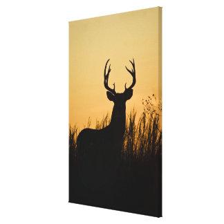 white-tailed deer Odocoileus virginianus) Canvas Print