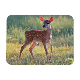 White-Tailed Deer (Odocoileus Virginianus) Fawn Magnet