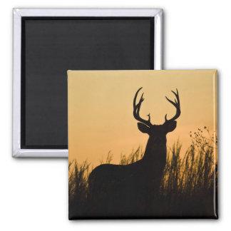 white-tailed deer Odocoileus virginianus) Magnet