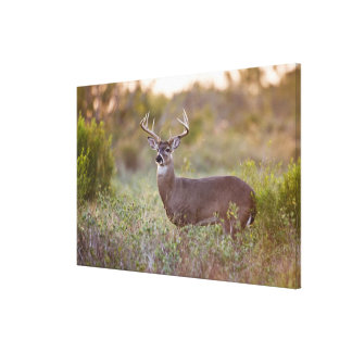 white-tailed deer (Odocoileus virginianus) male 2 Canvas Print