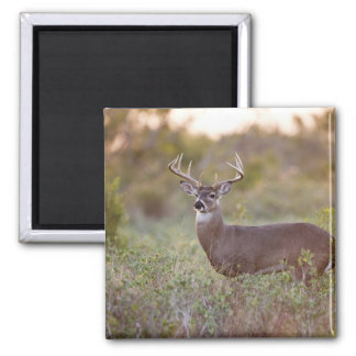 white-tailed deer (Odocoileus virginianus) male 2 Magnet