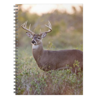 white-tailed deer (Odocoileus virginianus) male 2 Spiral Notebooks