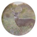 white-tailed deer (Odocoileus virginianus) male 2 Dinner Plates