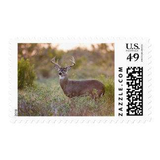 white-tailed deer (Odocoileus virginianus) male 2 Postage Stamp