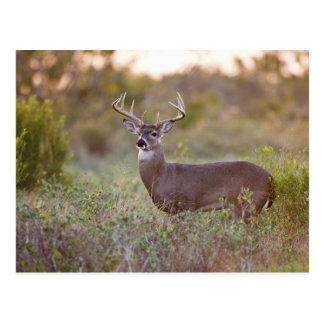 white-tailed deer (Odocoileus virginianus) male 2 Postcard