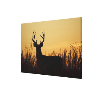 white-tailed deer (Odocoileus virginianus) male Gallery Wrapped Canvas