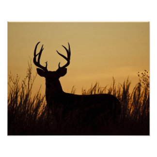 white-tailed deer (Odocoileus virginianus) male Poster