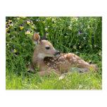 White-tailed deer (Odocoileus virginianus) Postcard